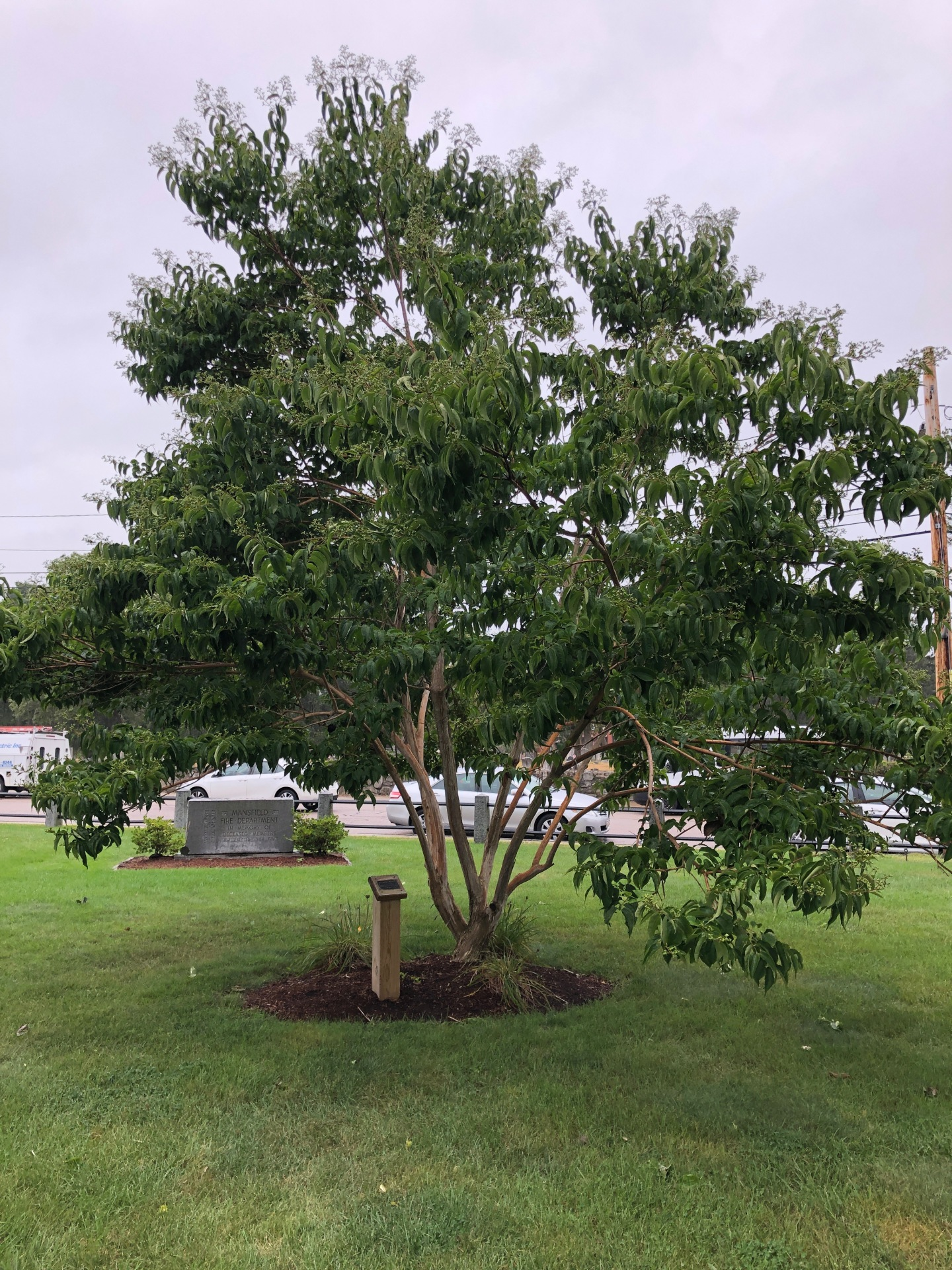 9/11 tree at South Common
